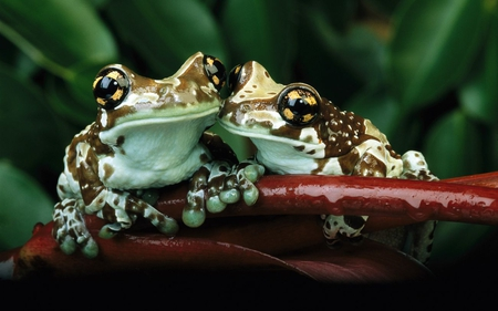 Frogs-Frogs-ID-Desktop-Nexus-Animals-wallpaper-wp4407262
