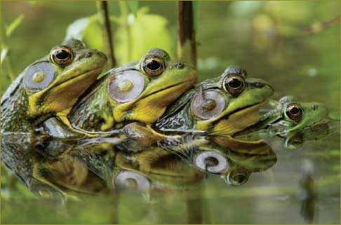 Frogs-wallpaper-wp440327