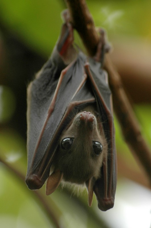 Fruit-Bat-wallpaper-wp5007815