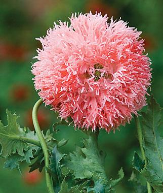 Fuzzy-poppy-wallpaper-wp5605102