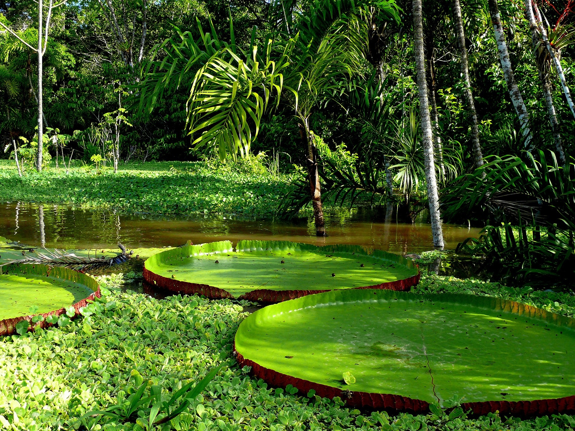 Giant-Amazon-Water-Lily-Pad-wallpaper-wp5405264