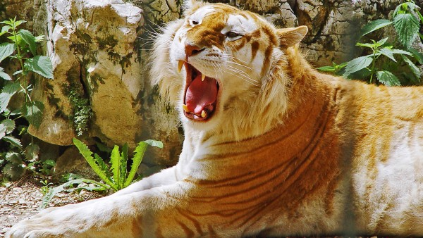 Golden-Tiger-HDTV-p-wallpaper-wp6003731