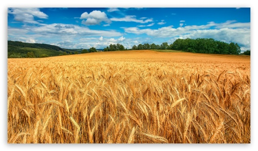 Golden-Wheat-Field-HD-for-HD-High-Definition-WQHD-QWXGA-1080p-p-p-QHD-nHD-wallpaper-wp3606277