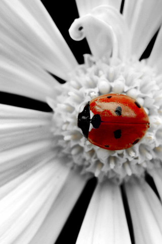 Google-Image-Result-for-http-iphoneonline-com-wp-content-uploads-Ladybug-iphone-w-wallpaper-wp3006210