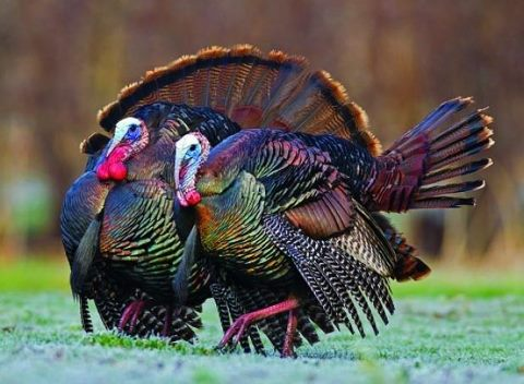 Gorgeous-Wild-Turkey-wallpaper-wp3006234