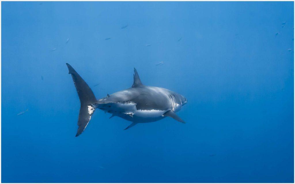 Great-White-Shark-great-white-shark-background-great-white-shark-live-wallpap-wallpaper-wp3406408