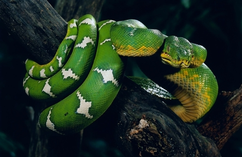 Green-Snake-Rapping-on-Tree-Branch-HD-wallpaper-wp3406428