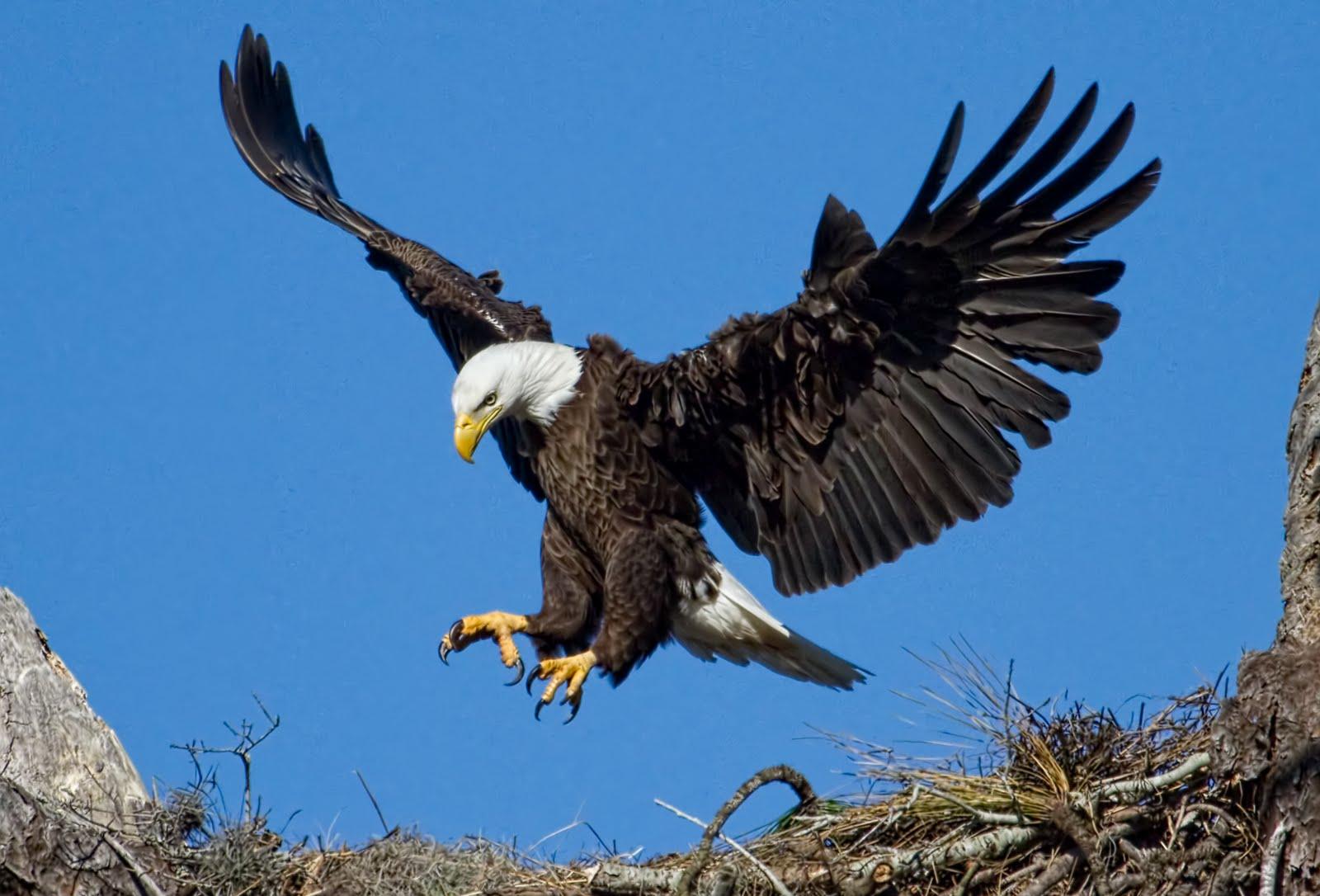 HD-eagle-pictures-ile-ilgili-g%C3%B6rsel-sonucu-wallpaper-wp5601050
