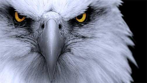 HD-eagle-pictures-ile-ilgili-g%C3%B6rsel-sonucu-wallpaper-wp5601243