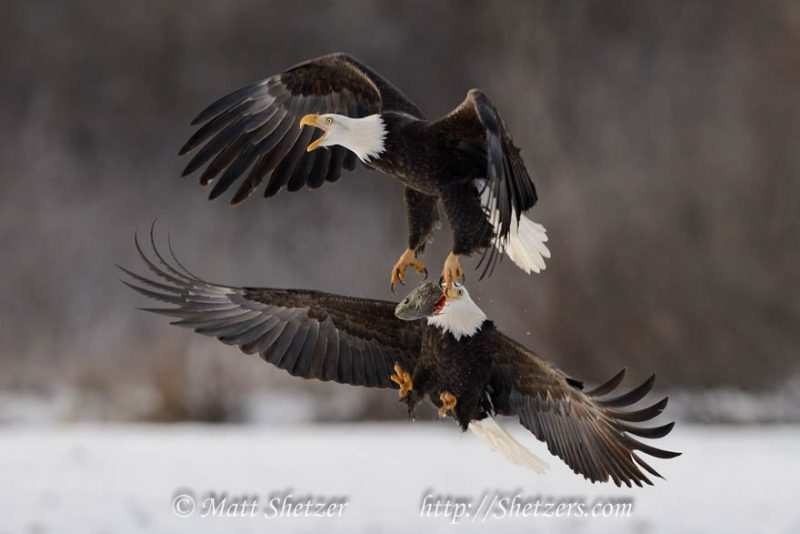 HD-eagle-pictures-ile-ilgili-g%C3%B6rsel-sonucu-wallpaper-wp5601322