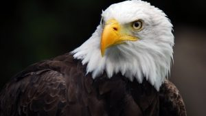 HD eagle pictures wallpaper