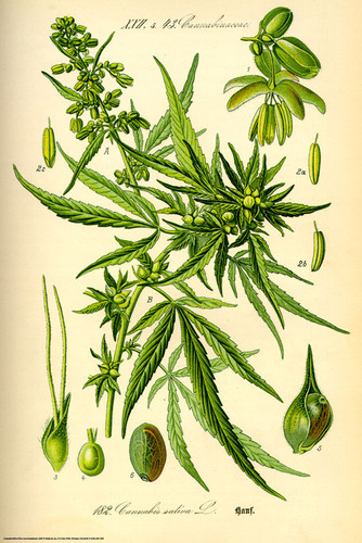 HUGE-Cannabis-Sativa-Medicinal-Marijuana-Mary-Jane-Dope-Weed-Poster-Print-RARE-wallpaper-wp426291