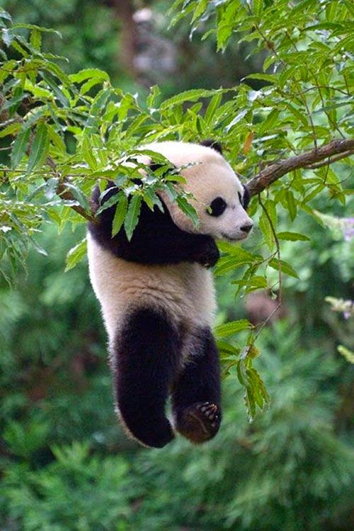 Hanging-Panda-wallpaper-wp5008321