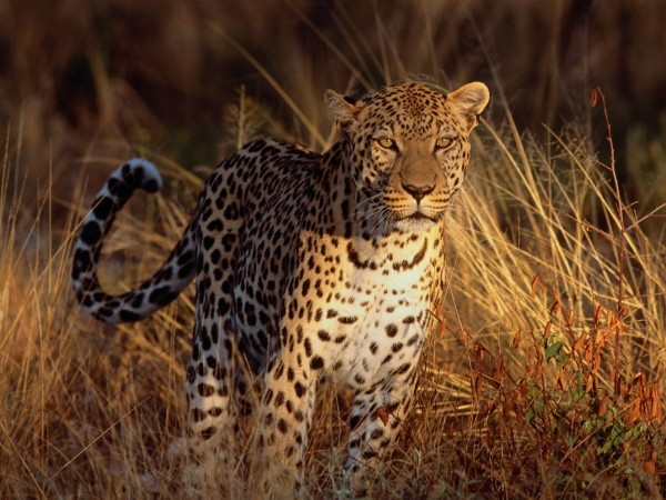 Intense-Focus-Leopard-wallpaper-wp6004152