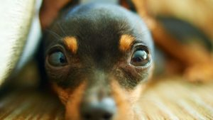 Miniature Pinscher wallpaper
