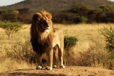 Lion-King-Animal-Full-Free-4k-HD-Mobile-Desktop-Phone-Iphone-Andr-wallpaper-wp34059
