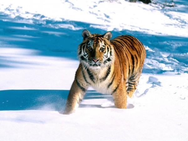 Majestic-Grace-Siberian-Tiger-wallpaper-wp6004754
