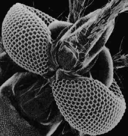 Mosquito-compound-eyes-Hexagonal-cells-have-the-shallowest-sharp-corners-of-any-regular-tesselating-wallpaper-wp4608407