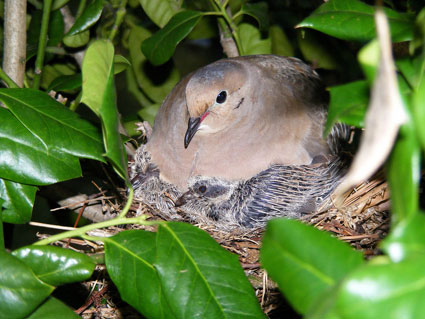 Mourning-Dove-wallpaper-wp6005003