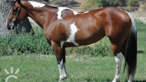 PAINT PINTO Horses wallpaper