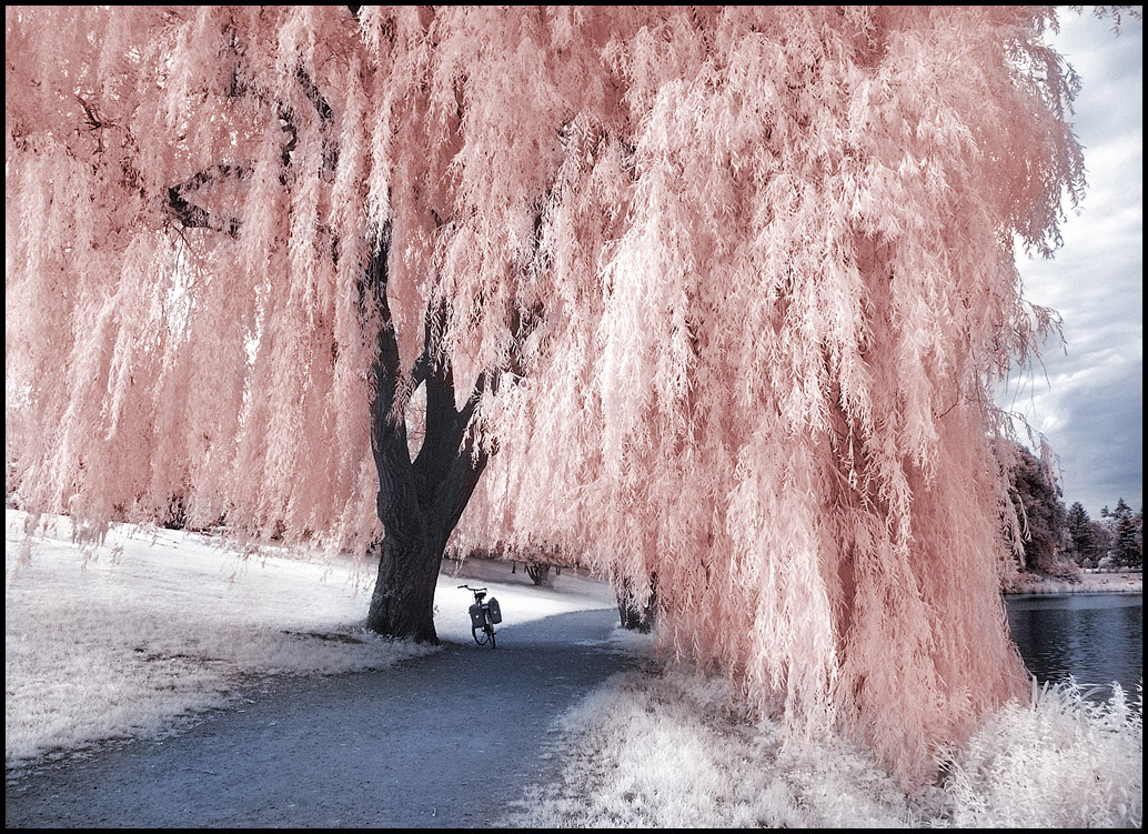 Pink-Willow-Tree-wallpaper-wp5407936