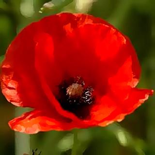 Poppies-wallpaper-wp5607593