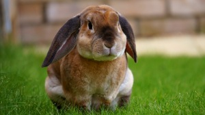 Preview-rabbit-sitting-grass-cute-1920x1080-wallpaper-wp34010089