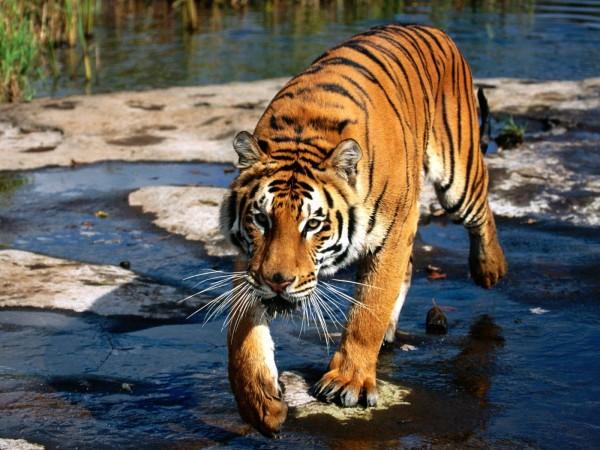 Prowler-Bengal-Tiger-wallpaper-wp6005455
