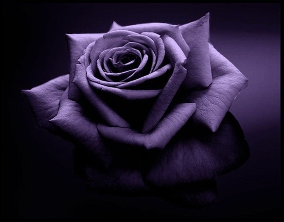 Purple-Rose-Rosa-P%C3%BArpura-wallpaper-wp6005472