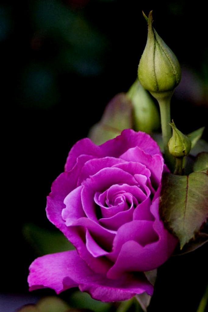 Purple-Rose-wallpaper-wp6005473