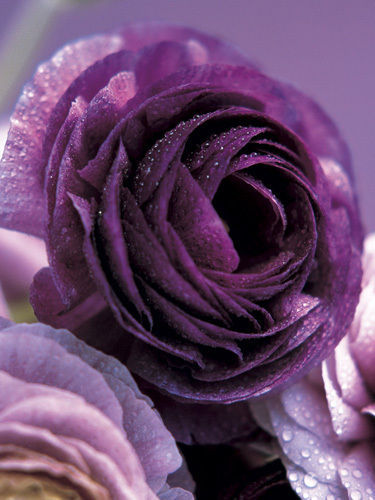 Purple-Roses-by-Kei-Muto-wallpaper-wp6005478
