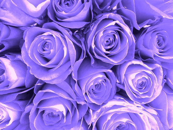 Purple-Roses-by-Studio-Swede-wallpaper-wp6005479