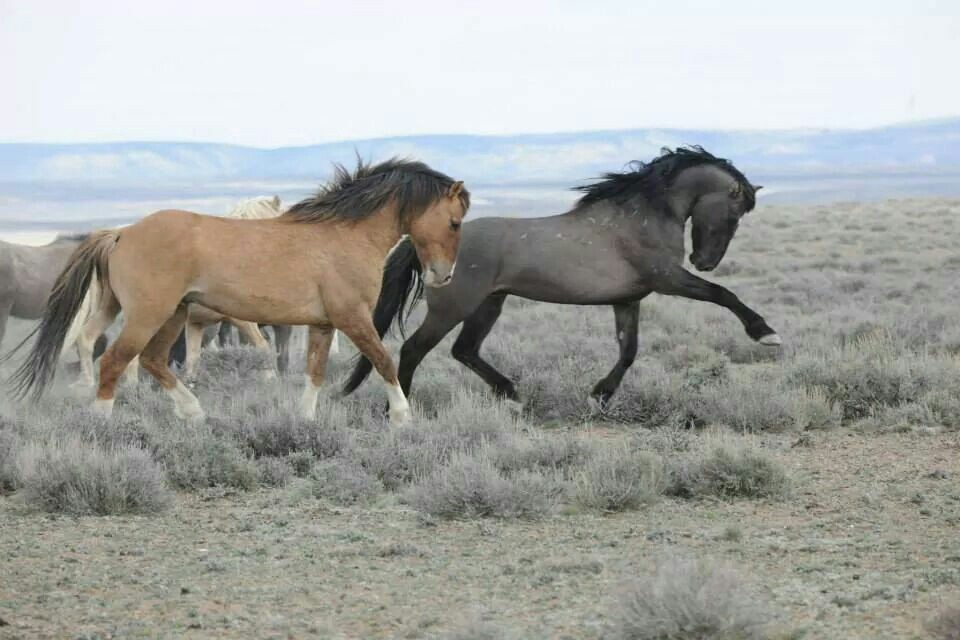 Sand-Wash-Basin-wild-horses-wallpaper-wp4609742