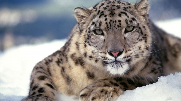 Scary-Snow-Leopard-wallpaper-wp6005650