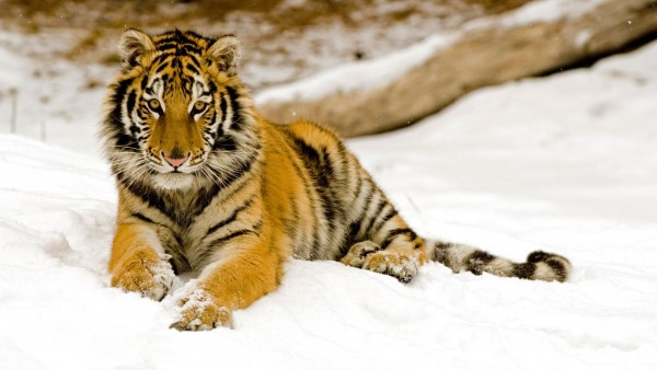 Snowy-Afternoon-Tiger-wallpaper-wp600298