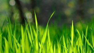 gras wallpaper