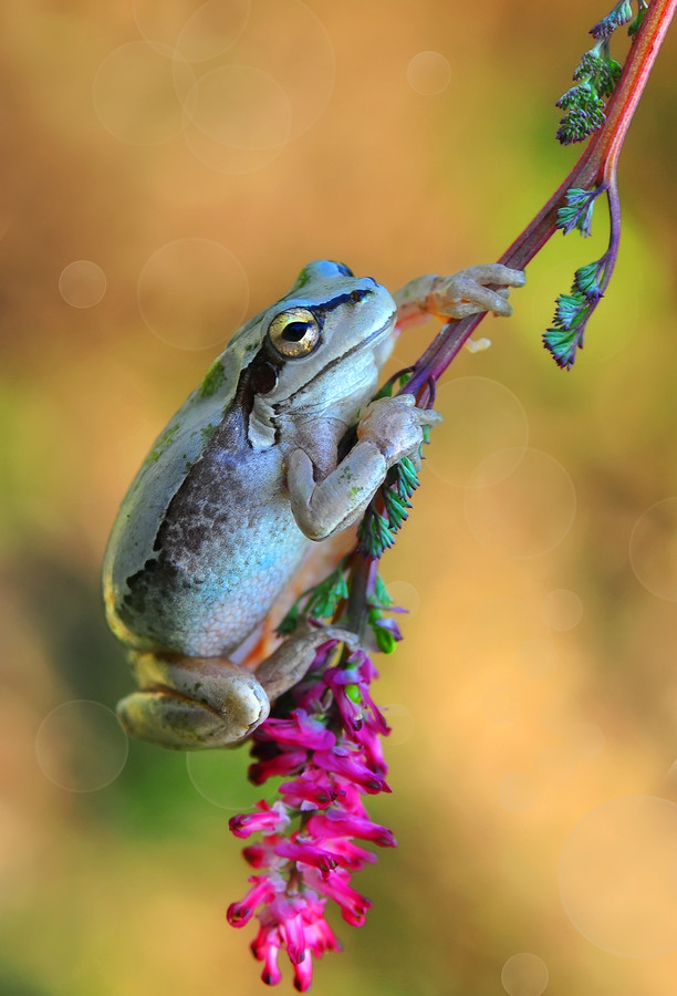 Tree-frog-by-Mustafa-Ozturk-wallpaper-wp5004085