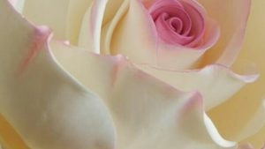Beautiful sweet roses wallpaper