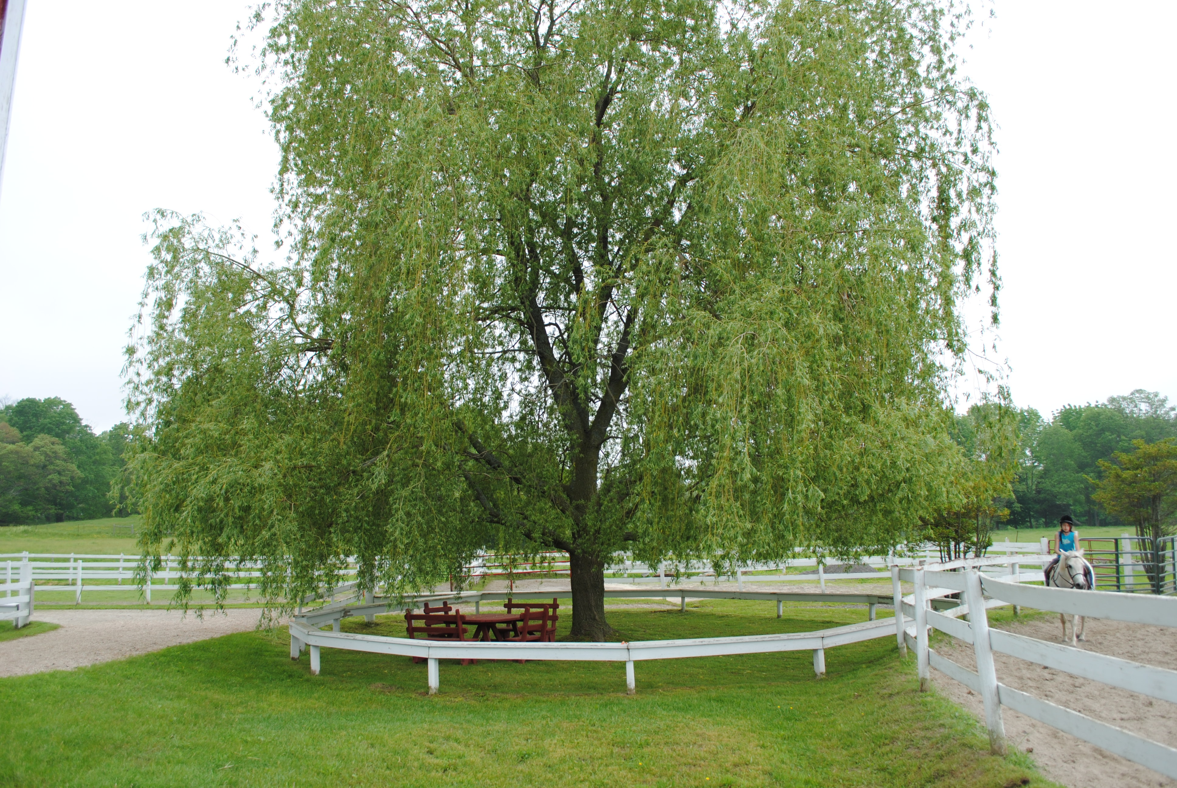 Weeping-Willow-wallpaper-wp5401219