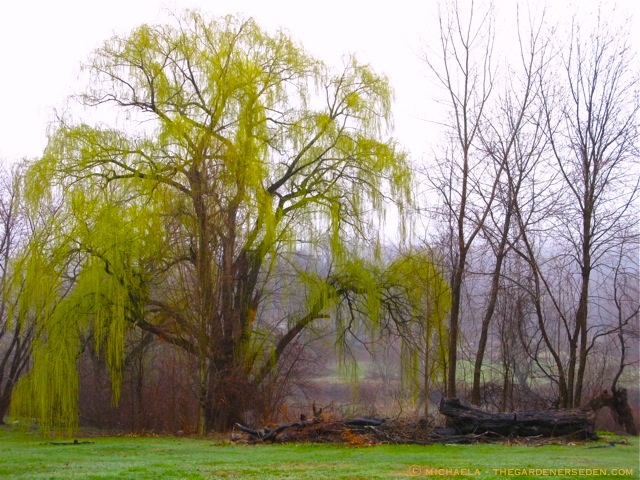 Weeping-Willow-wallpaper-wp5401392