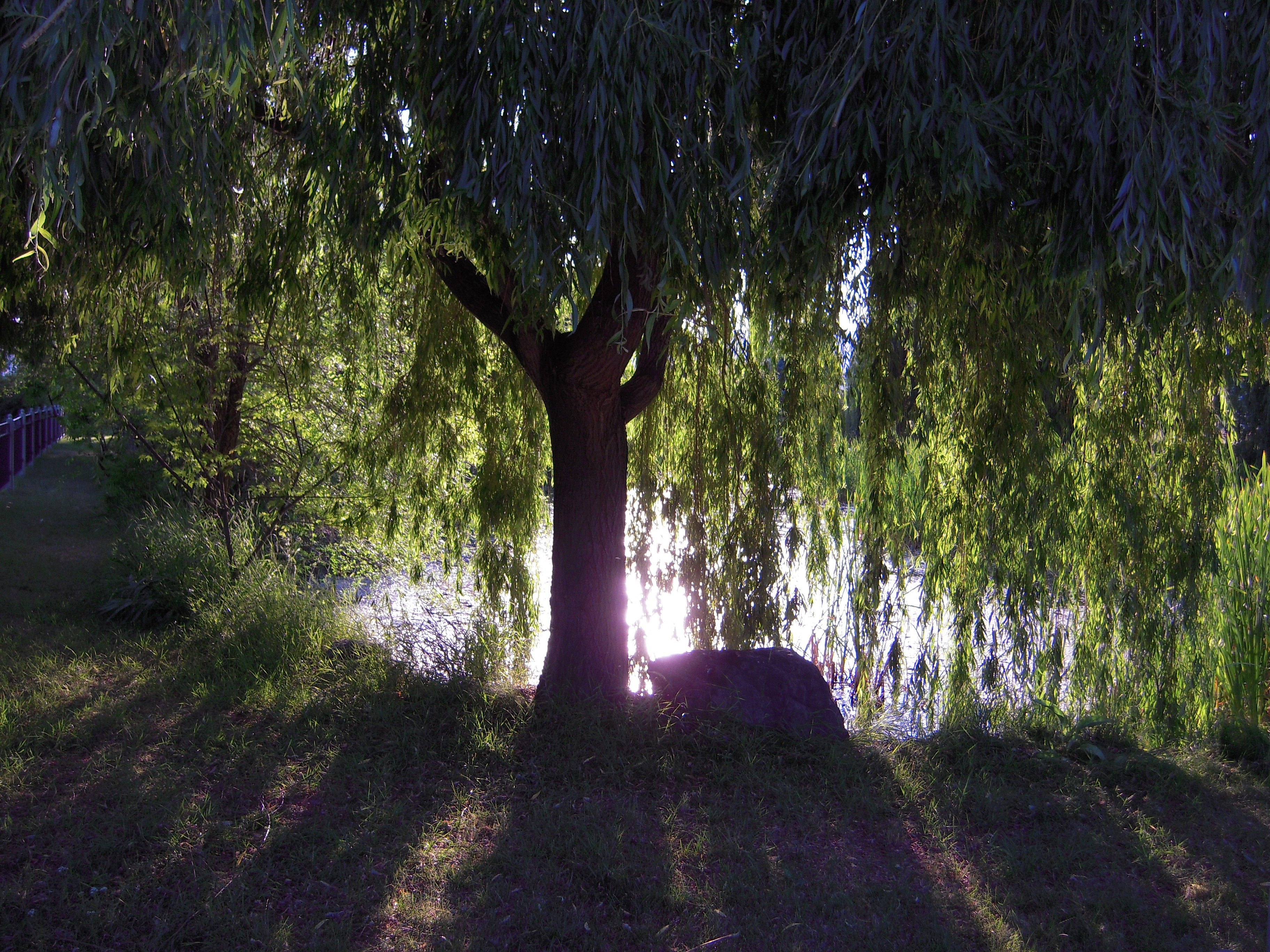 Weeping-Willow-wallpaper-wp540946