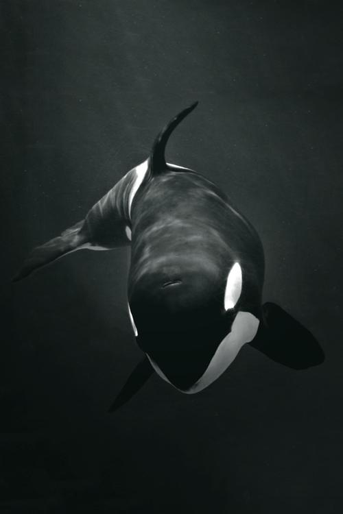 abafacdfacee-sea-world-killer-whales-wallpaper-wp5602701