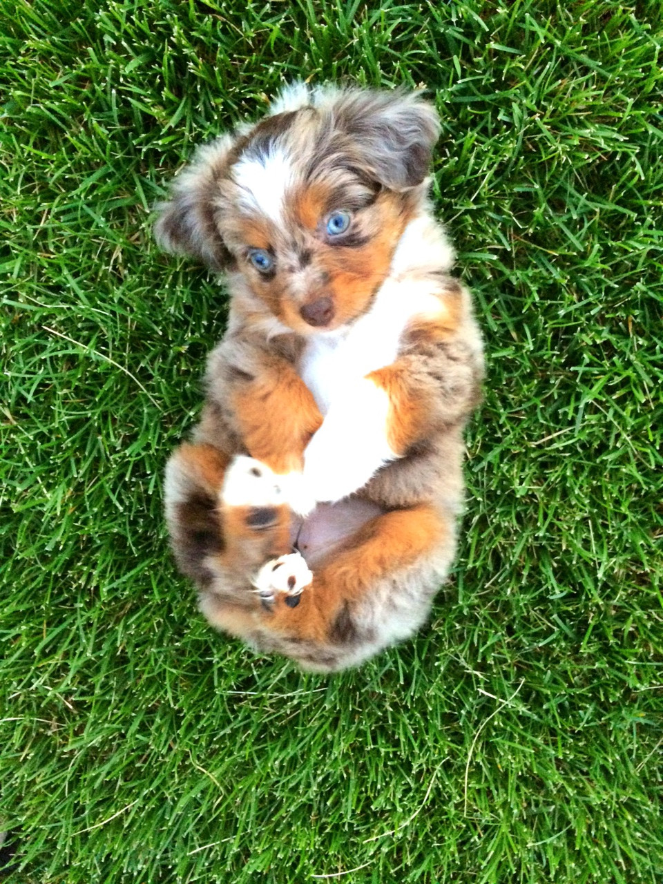 abdcdebfcb-mini-australian-shepherds-australian-shepherd-puppies-wallpaper-wp4402085