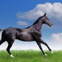 akhal-teke-horse-x-wallpaper-wp5203928