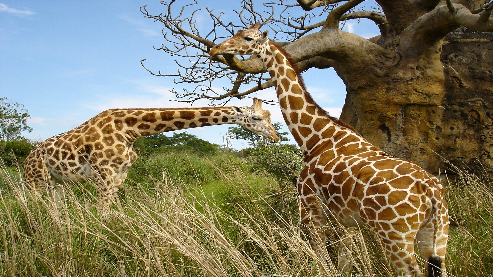 animal-pictures-Girrafe-Animal-Unique-Nature-HD-wallpaper-wp3402412