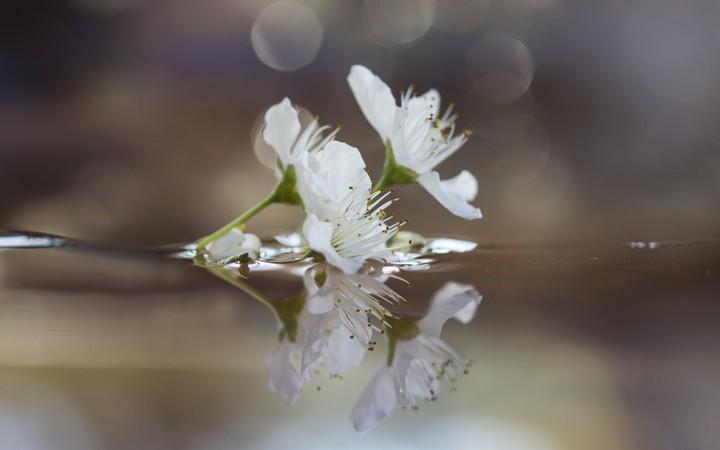 apple-flower-reflecting-in-water-wallpaper-wp3003283