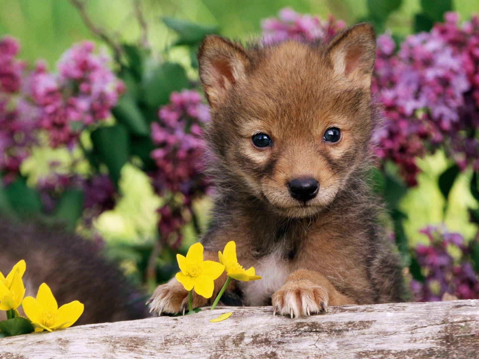 baby-coyote-wallpaper-wp3402801