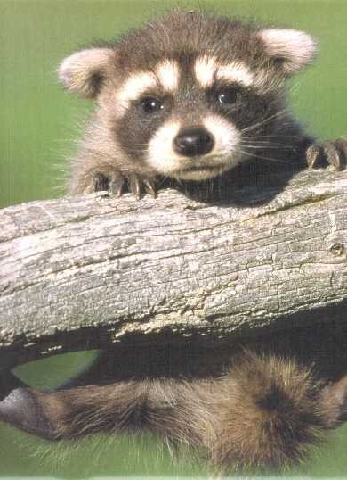 baby-raccoon-wallpaper-wp5004945