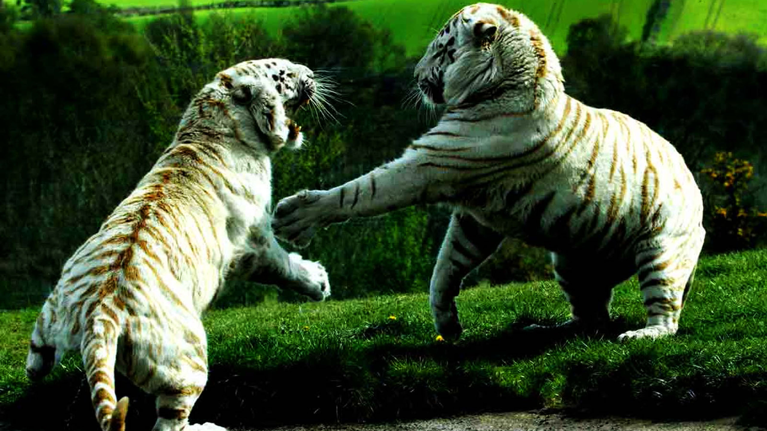 baby-white-tiger-fight-http-1080-net-baby-white-tiger-fight-html-wallpaper-wp3602907