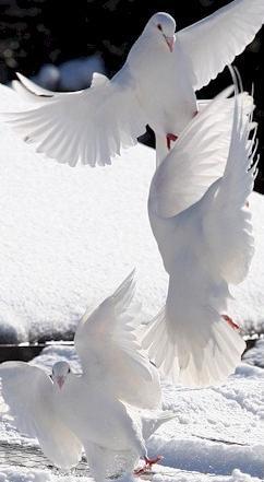beautiful-white-doves-wallpaper-wp6002300